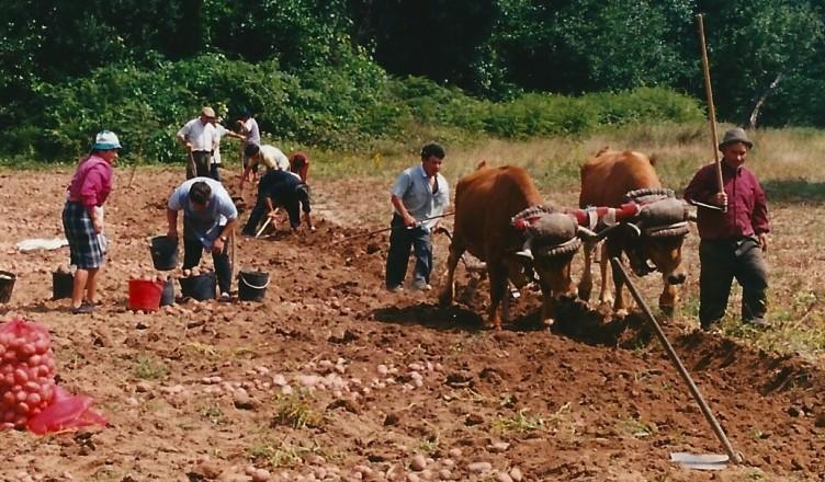 Arranca da batata, Barreira, Moimenta da beira, 1999