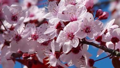 almond-blossom-5376_640