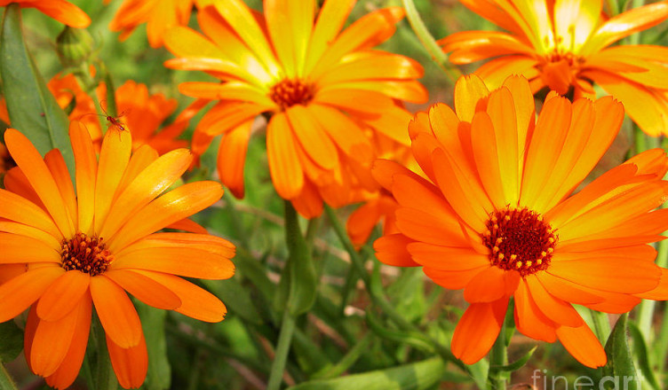 orange-flowers-thomas-r-fletcher - Cópia